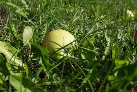 Ein Apfel - sogenanntes Fallobst - liegt in der Wiese im oberösterreichischen Mühlviertel. Foto: rubra