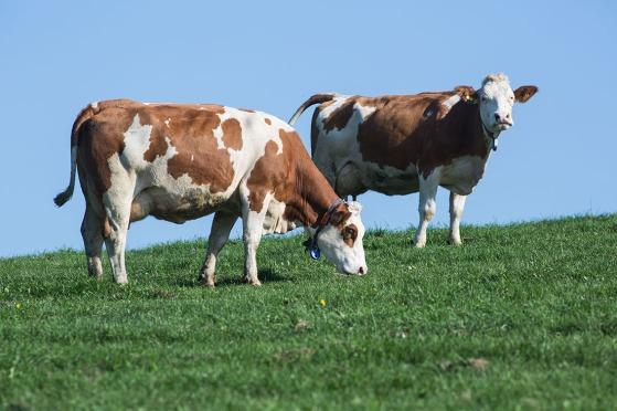 Zwei Kühe geniessen die Ruhe auf einer Weide im oberösterreichischen Mühlviertel. Foto: rubra