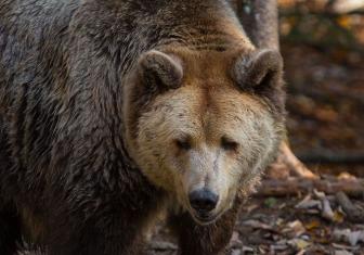 Dieser Braunbär ist eine der vielen Attraktionen im Wildpark Grünau im oberösterreichischen Almtal. Foto: rubra