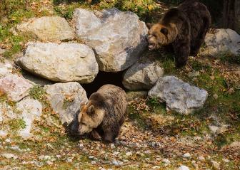 Diese Braunbären sind eine der vielen Attraktionen im Wildpark Grünau im oberösterreichischen Almtal. Foto: rubra