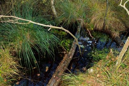 Das Bild zeigt einen Tümpel im herbstlichen Ibmer Moor im Innviertel. Foto: rubra