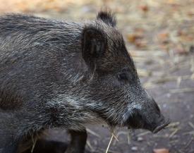 Wildschwein im Freilaufgeländes des Wildparks Grünau im Almtal. Foto: rubra